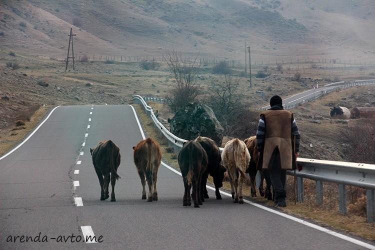 Живность на грузинских дорогах