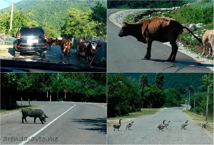 Животные на дорогах Кутаиси